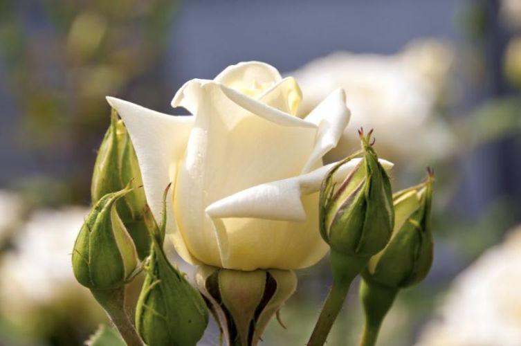 Rose-SeGe-0800