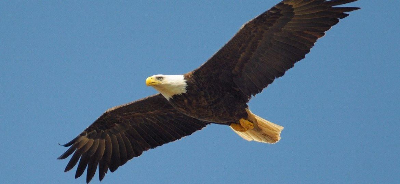 eagle-864725_1280 (1)